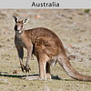 Eastern Gray Kangaroo (Macropus giganteus) in Australia by Doug Cheeseman in September 2006.