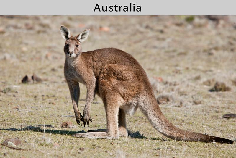 Eastern Gray Kangaroo (Macropus giganteus) in Australia by Doug Cheeseman in September 2006.