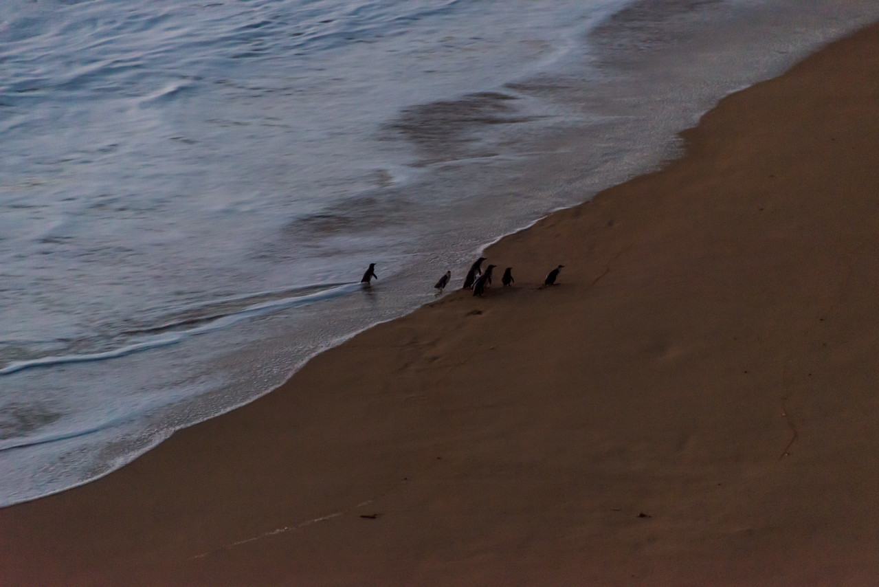 Penguins Returning from the Sea, Great Ocean Road, Australia