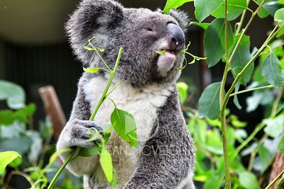 Koala's Lunch