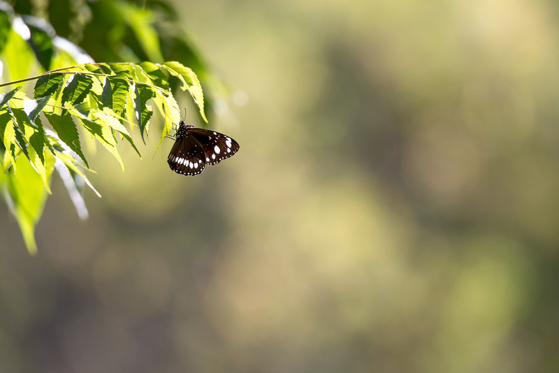 Two-brand Crow Butterfly