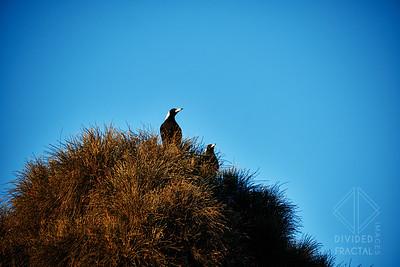 Australia, Melbourne, Great Ocean Road, Bird, Magpie