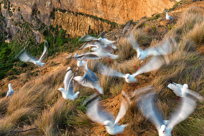 Seagulls in Motion, Great Ocean Road, Australia