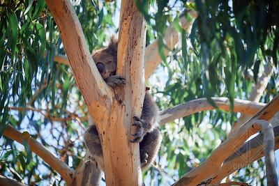 Australia, Melbourne, Great Ocean Road, Koala Bear