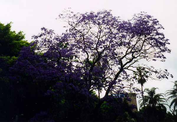 2000_Sydney_PurpleTree