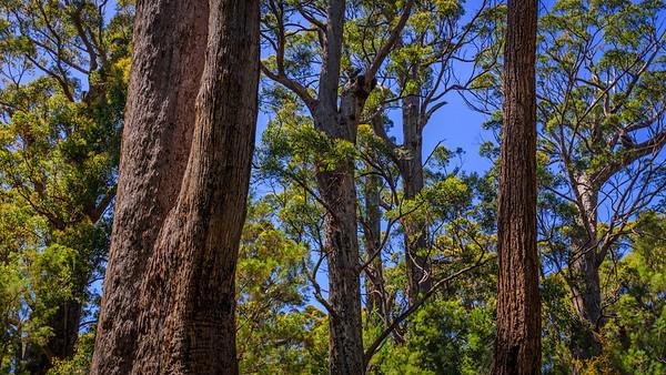 Tingle Forest, Tree Top Walk, Walpole, WA