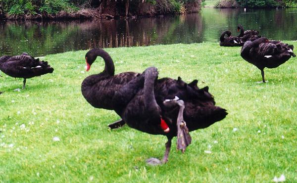 2000_Melbourne_Swan