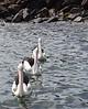 Interesting, enormous, pelicans.