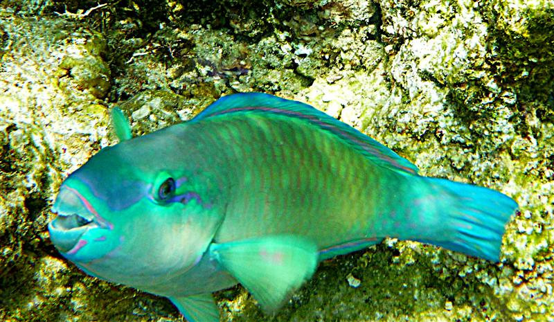 Not sure those are teeth, but parrotfish seem to munch on coral, so maybe that's a beak?  He was about a foot long.