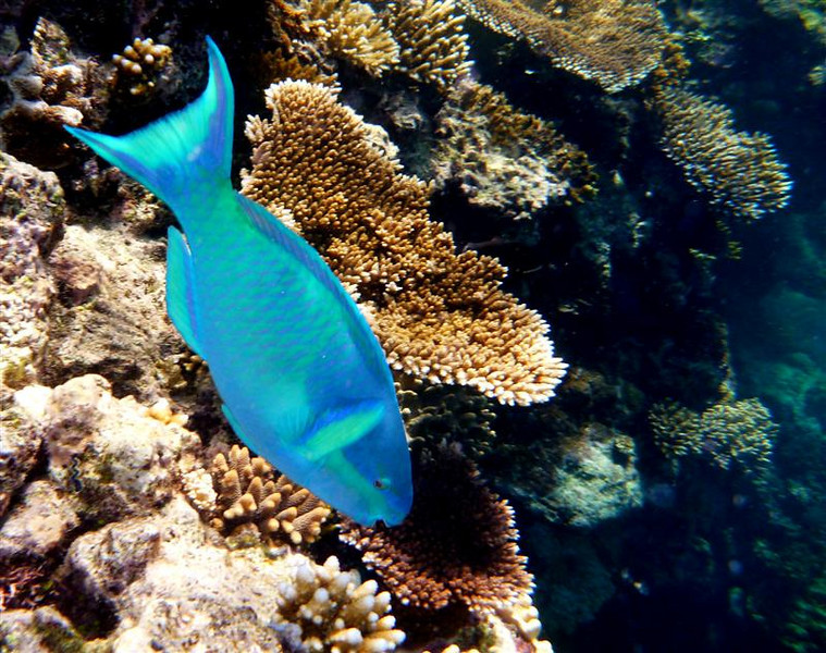 We're told that parrotfish munch on the coral.  If I had been listening, I might have heard the crunch!