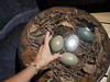 Cassowary eggs, with my hand for size comparison.