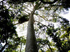 The kauri pine is a gorgeous tree, avoiding all the vines and other epiphytes, reaching for the sun.