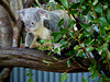 Koalas have the cutest faces.  They move slowly, almost catlike.  And mostly they sit (in this little zoo/sanctuary) facing away from the people.