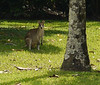 This guy, about three feet tall, appeared in our apartment's back yard late in every day.  He hopped off as I approached him.  A wallaby.