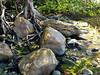Mangroves grow around rocks at Palm Cove.
