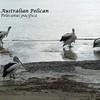 Kangaroo Island - Pelican Lagoon - Australian Pelican