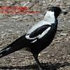 Old Ocean Road- Australian Magpie