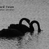 Kangaroo Island - Pelican Lagoon - Black Swans