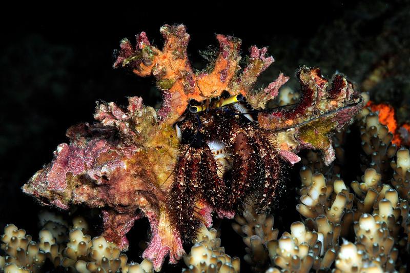 Crab: Dardanus lagopodes<br /> Kenya, Africa<br /> ID thanks to Professor Mary Wicksten