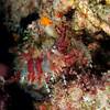 Shrimp: Saron sp., marbled shrimp<br /> Kenya, Africa<br /> ID thanks to Professor Mary Wicksten