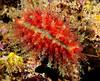 Cypraea nucleus<br /> ID thanks to Bob Abela