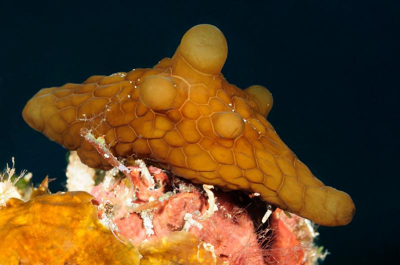 "Lamellaria: ID = Coriocella semperi. Note the ""eye"".<br /> Watamu, Kenya, Africa<br /> ID thanks to David Behrens."