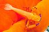 Shrimp on mantle of Spanish Dancer<br /> Watamu, Kenya, Africa