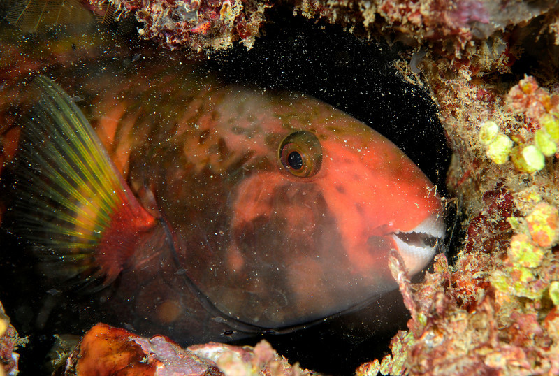 """Parrotfish bedded down for the night.  Notice the mucous """"blanket"""" which it exudes for protection against nocturnal predators."""