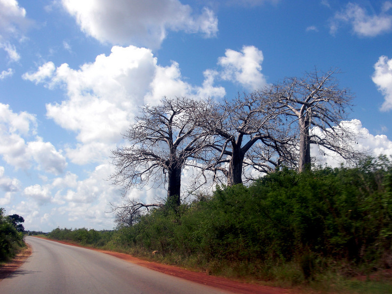 Massive Baobab trees dot the landscape.  Some grow to 2000 years old.  The trunk can reach a diameter of 35 feet (110' circumference).<br /> The only regret is not having tasted the edible fruit which is said to contain 6 times the vitamin C of oranges.<br /> The tree is reputed to have been a mistake made by God i.e. He planted them upside down with the roots on top.<br /> Kenya.