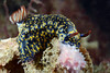 Hypselodoris obscura.<br /> Fly Point, Nelson Bay, Australia