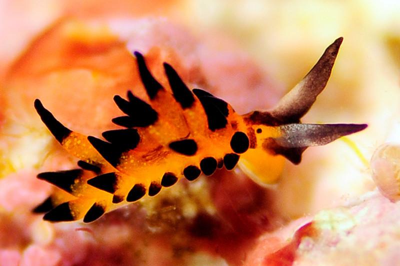 "Placida kevinleei.  McCarthy, Krug & Valdés 2017<br /> Watamu, Kenya, Africa<br /> <a href=""http://www.sci-news.com/biology/three-new-species-sea-slugs-05445.html"">http://www.sci-news.com/biology/three-new-species-sea-slugs-05445.html</a><br /> <a href=""http://slugsite.us/bow2007/nudwk1027.htm"">http://slugsite.us/bow2007/nudwk1027.htm</a>"