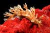 Marionia sp. (?)<br /> Kenya, Africa