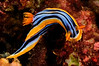 Chromodoris elisabethina<br /> Kenya, Africa<br /> ID thanks to Nathalie Yonow