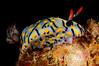 Hypselodoris kanga<br /> Kenya, Africa<br /> ID thanks to Nathalie Yonow