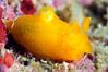 Gymnodoris citrina (?)<br /> Watamu, Kenya, Africa