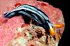 Thuridilla virgata<br /> Kenya, Africa