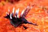 Protaeolidia juliae (?)<br /> Watamu, Kenya, Africa