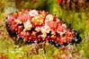 Phyllidiopsis cardinalis<br /> Watamu, Kenya, Africa