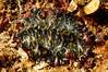 Z: Flatworm: Pseudoceros bedfordi, Persian Carpet Flatworm<br /> Kenya, Africa