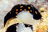 Chelidornura punctata, with eggs<br /> Watamu, Kenya, Africa