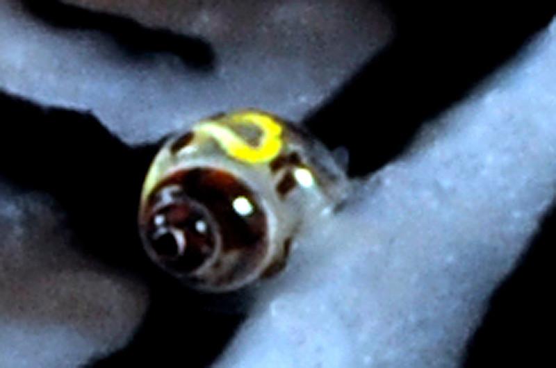 Phyllidiopsis sp. 1 dorsum, with tiny snail<br /> Kenya, Africa
