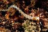 Pteraeolidia ianthina<br /> Kenya, Africa
