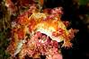 Marionia rubra (?)<br /> Kenya, Africa