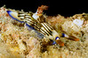 Nembrotha lineolata<br /> Kenya, Africa