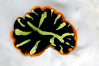 Z: Flatworm: Pseudoceros cf. dimidiatus, Tiger Flatworm<br /> Malindi, Kenya