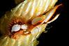 Fiona pinnata, feeding on barnacles<br /> Kenya, Africa