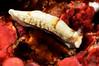Dermatobranchus fasciatus<br /> Kenya, Africa<br /> ID thanks to Nathalie Yonow