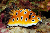 Goniobranchus leoparus, color variation perhaps.<br /> Kenya, Africa