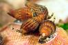 Snails: Nassarius gayi<br /> Under Muelle Baron Pier<br /> Valparaiso, Chile<br /> ID thanks to Luis Prado