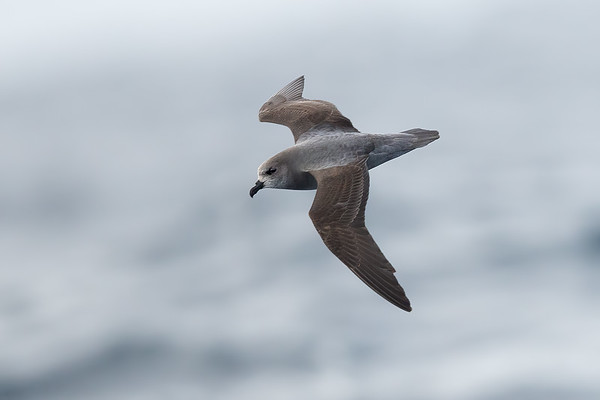Soft-plumaged Petrel dark morph